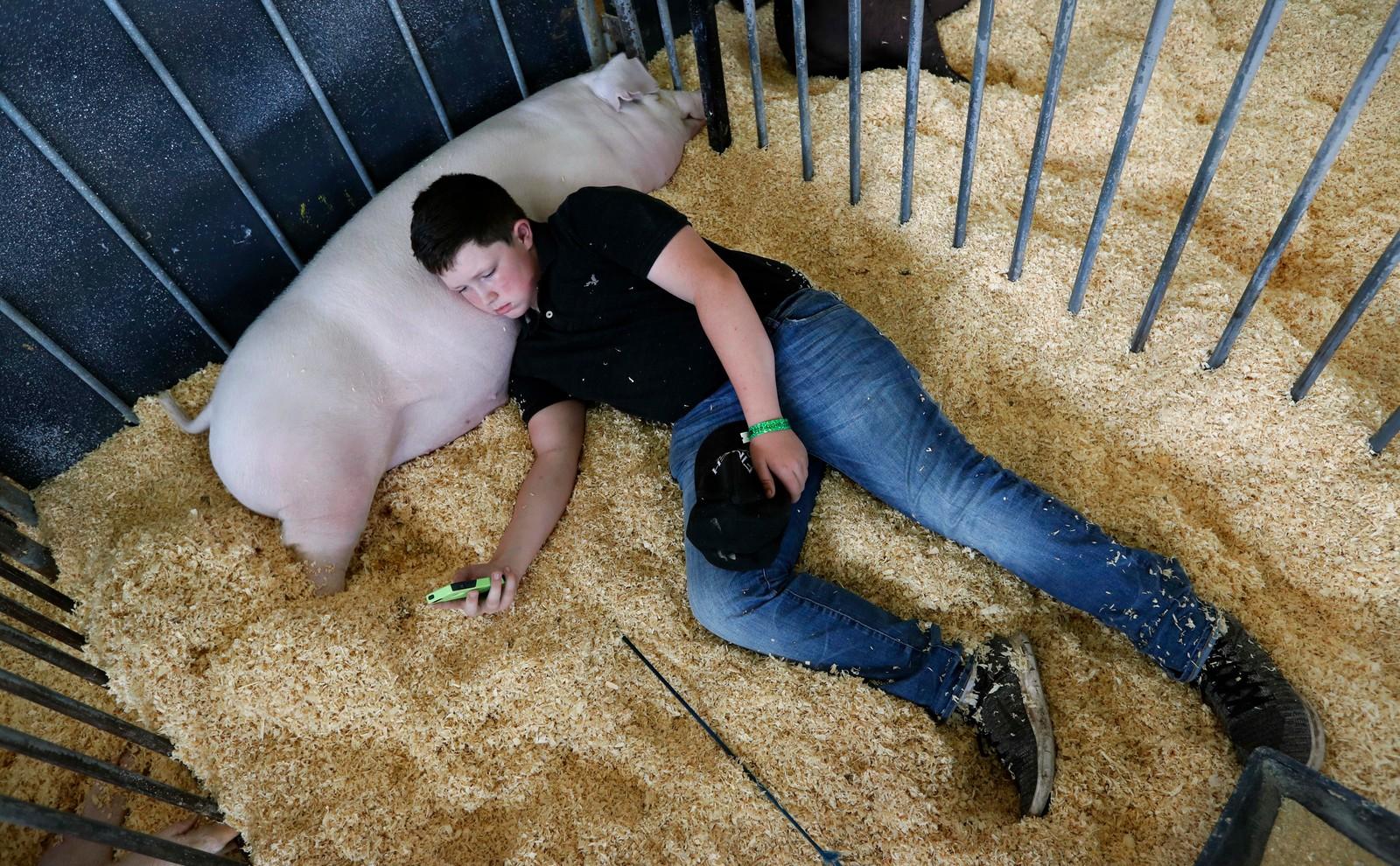 Max Petzenhauser sjekker mobiltelefonen sin mens han slapper av sammen med grisen Chico under Iowa State Fair i Des Moines, Iowa i USA torsdag.