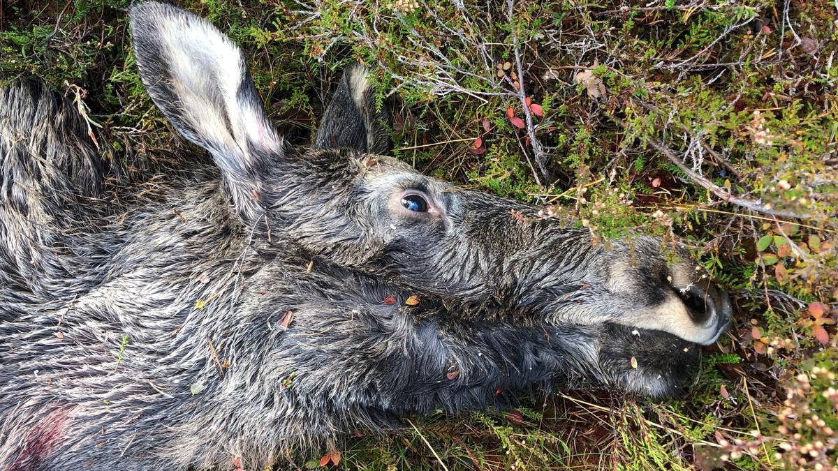 Statskog mener unge har blitt mer skeptisk til elgjakt – skylder på «kjøttskam»