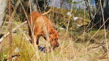 Våren er her med mange spennende dufter for hunden Aiko. Grønøy.