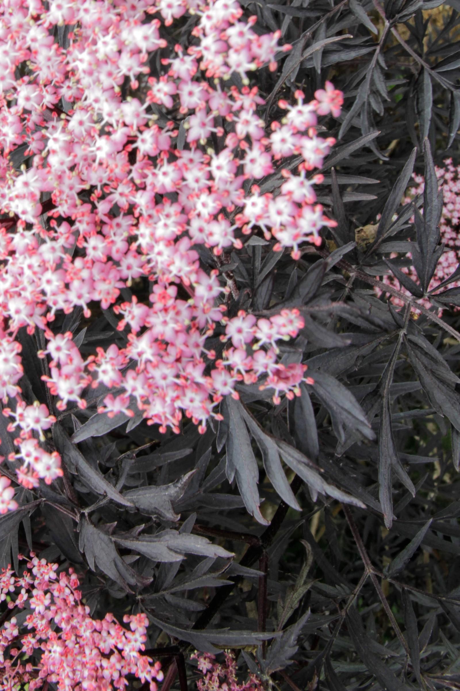 Svarthyllnen har fått plass på grunn av den djupe fargen. Berit Steen likar å tenke i fargar, så ho leitar etter kontrastar i plantene.