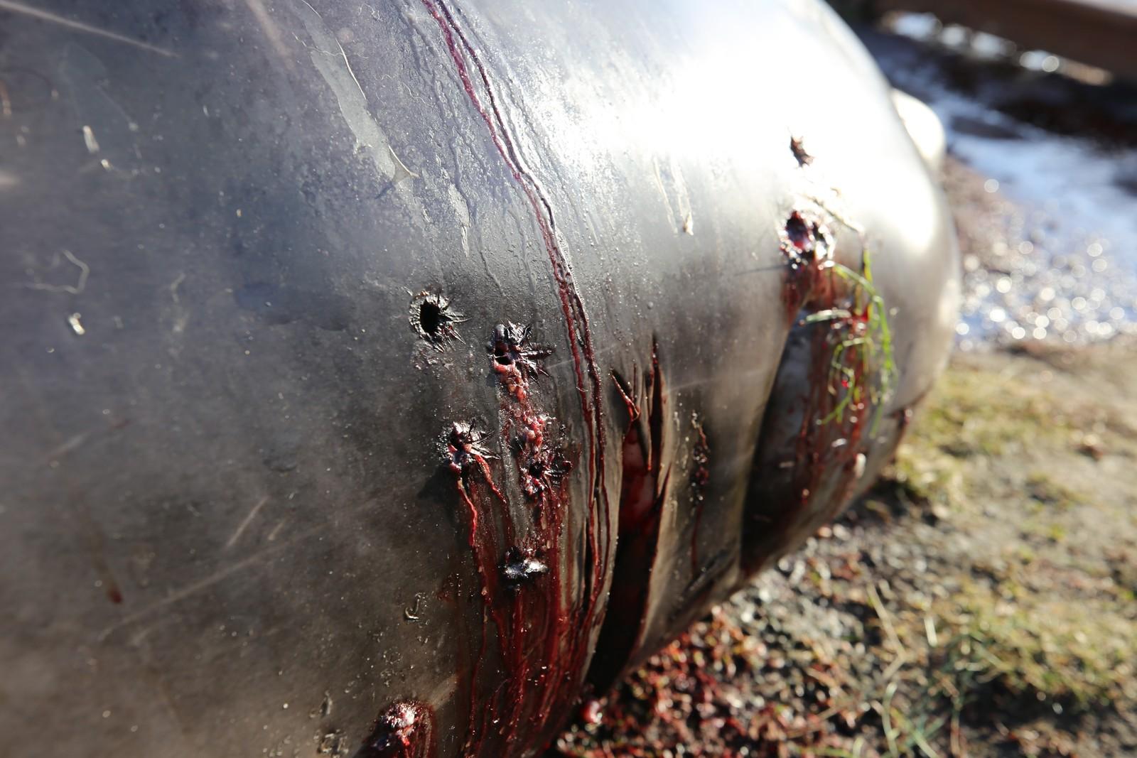 SKUDDHULL: Gåsenebbhvalen var syk og måtte avlives i sjøkanten på Sotra.