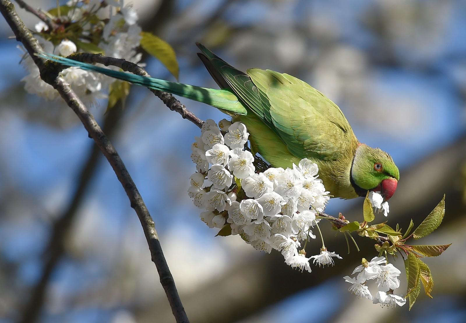 En halsbåndparakitt spiser blomstene på et tre i vårsola i London onsdag denne uka.