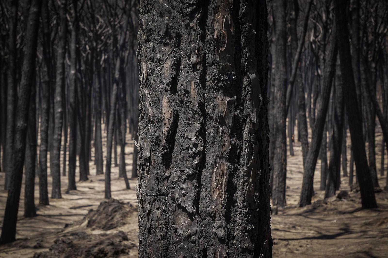 Utbrent skog i nasjonalparken ved Vesuv nær Napoli i Italia.