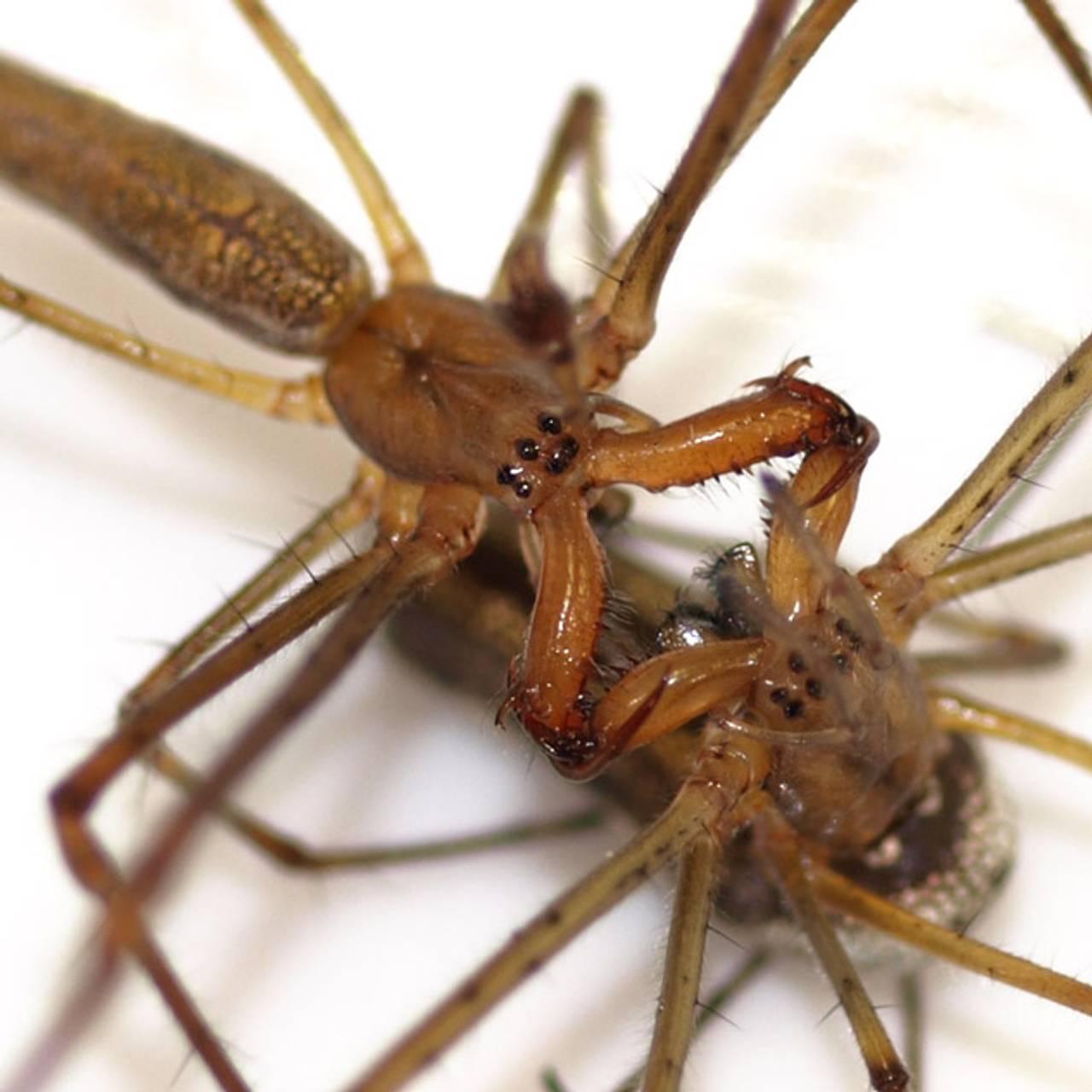 Hannen begynner med en solid kjevelåsing, hvor hunnen ufarliggjøres og nøytraliseres.