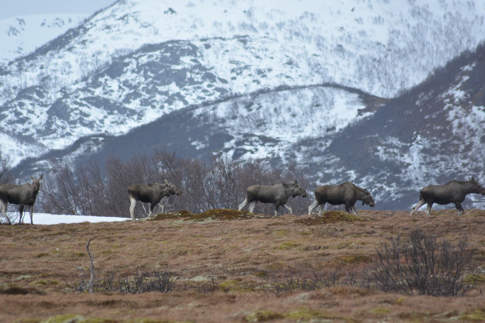 Elgene står i kø på Skarstein