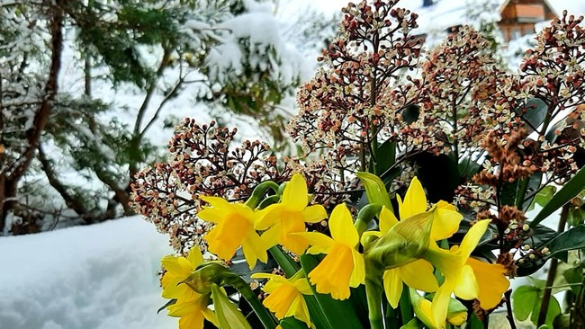 Påskeliljer med snø og vinterlandskap i bakgrunnen