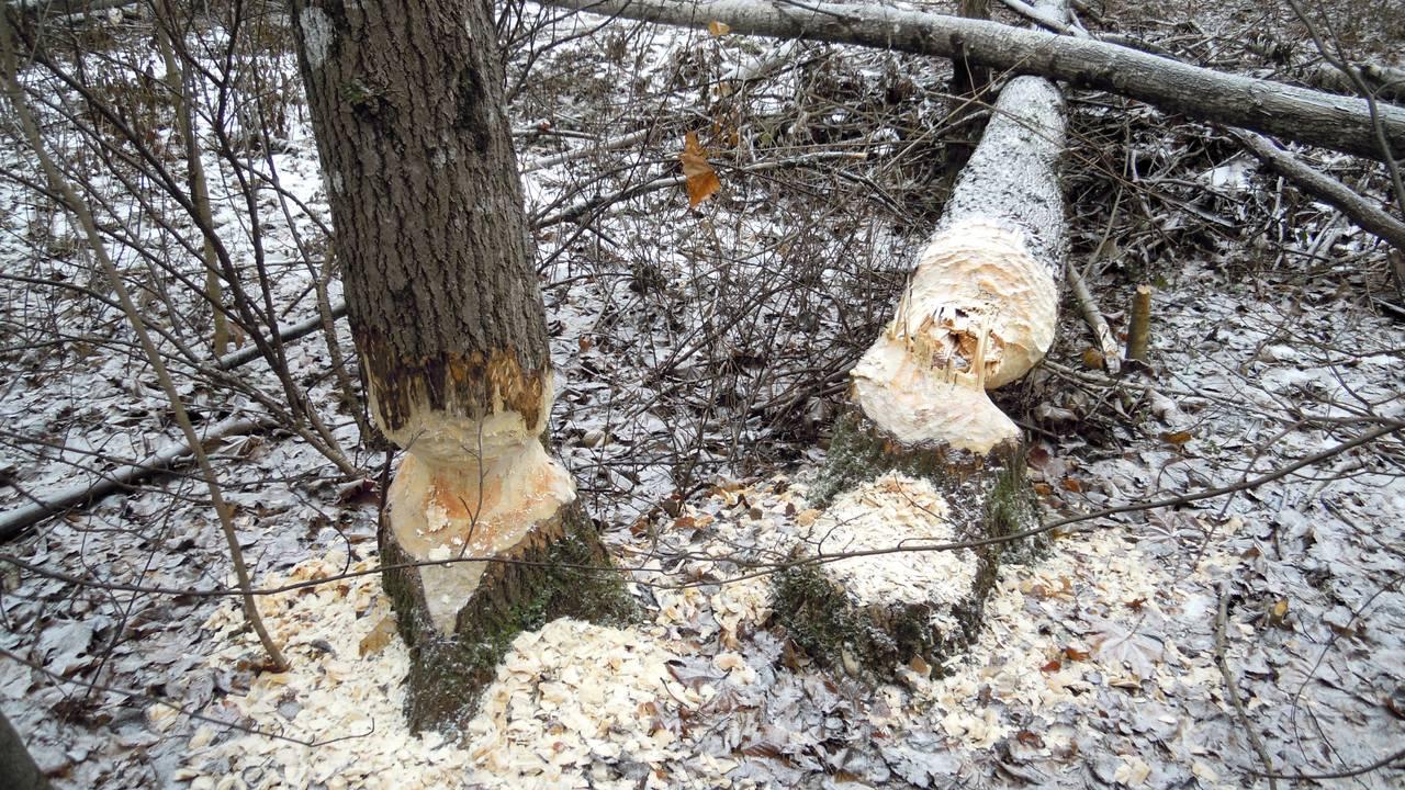 Bever har gnagd på trær i Larvik