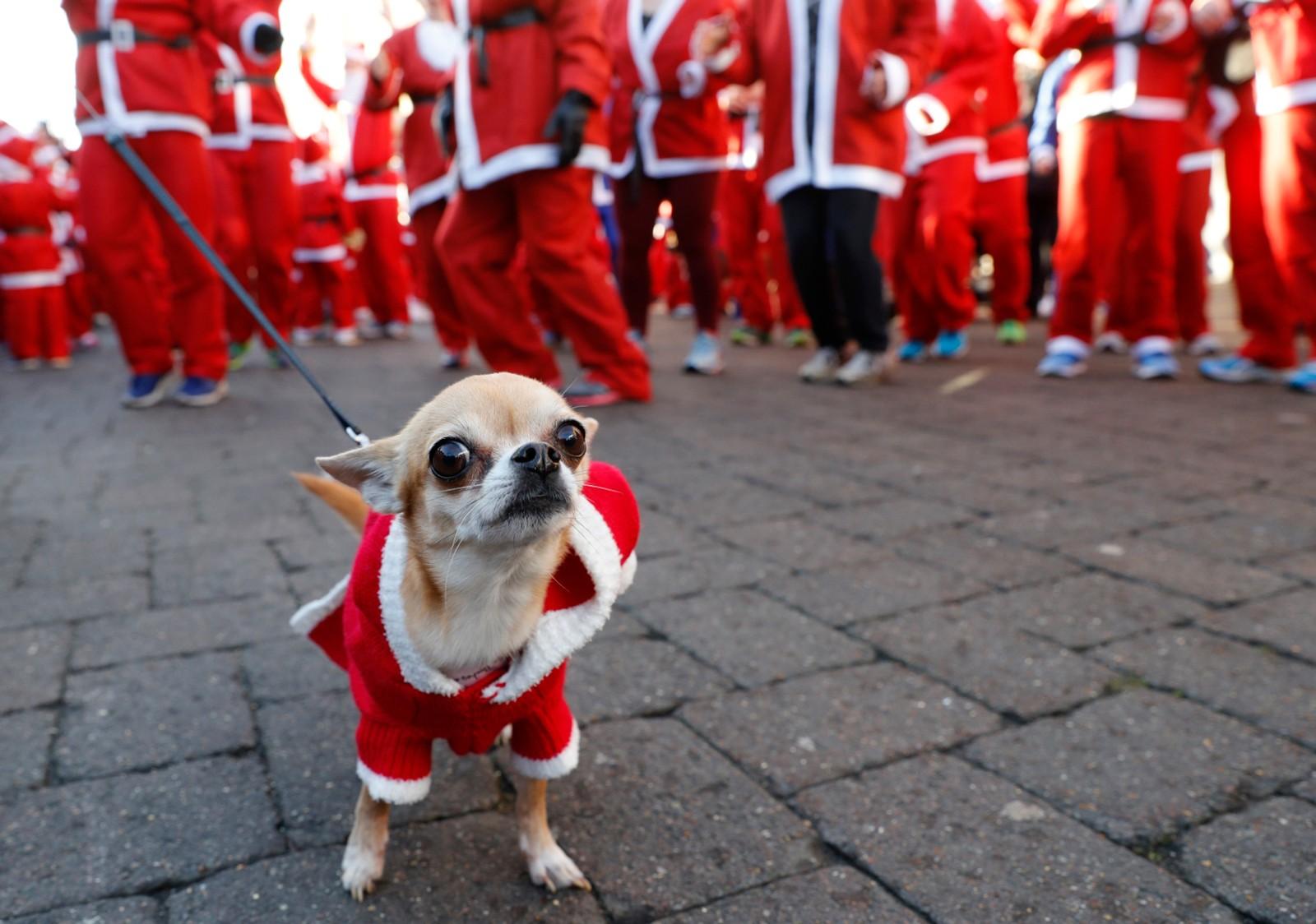 Det årlige nisseløpet i britiske Loughborough hadde i år med seg firbeinte deltagere.