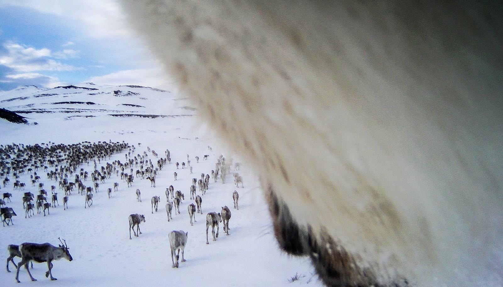 Dette bildet er tatt på vårparten. I tiden fram mot kalving er flokkene rastløse. Simlene flytter hyppig på seg i jakten på de beste beitene.