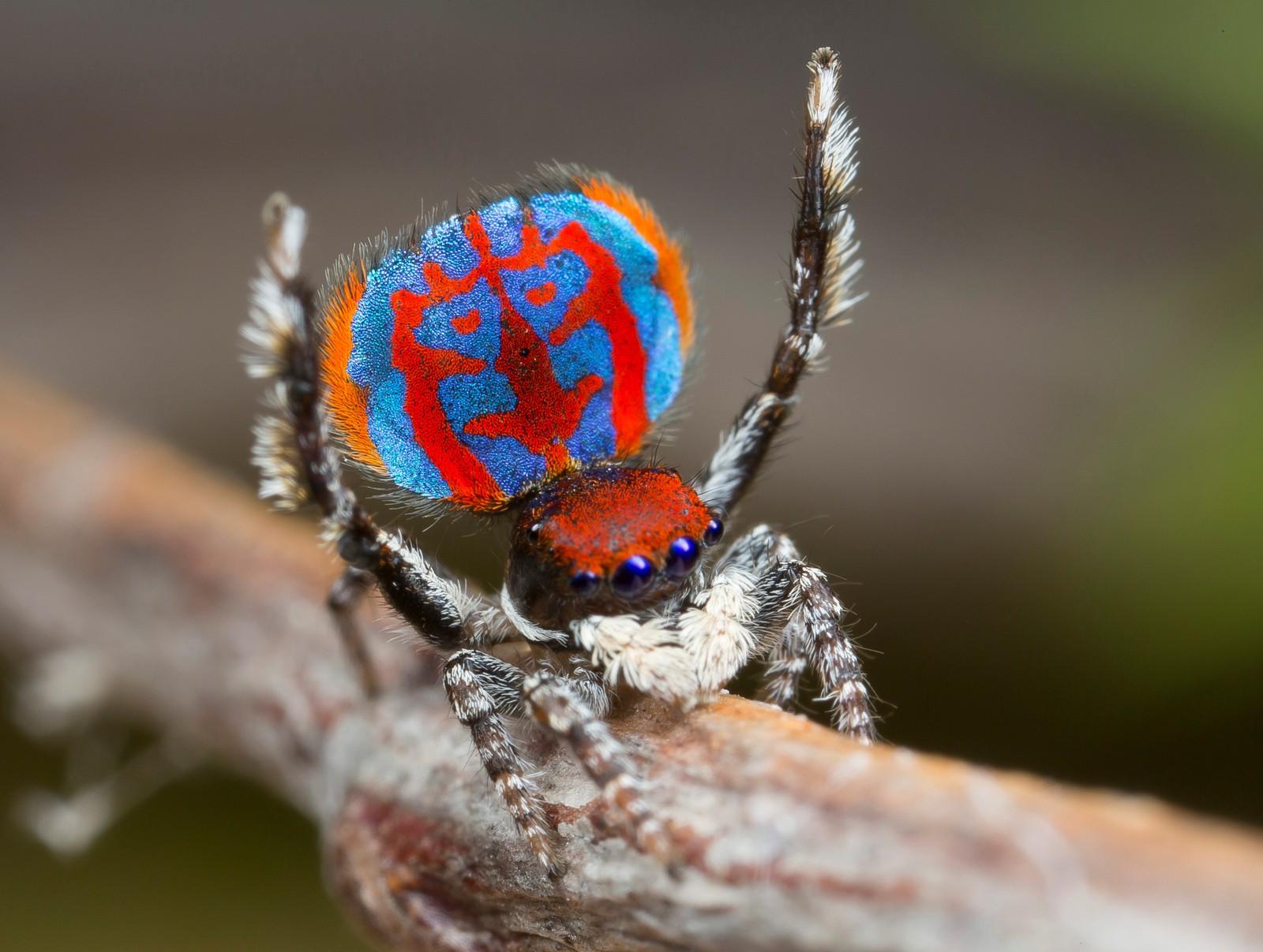 Den nyoppdagede edderkopparten australsk påfugledderkopp (Maratus Bubo) brisker seg for fotografen.