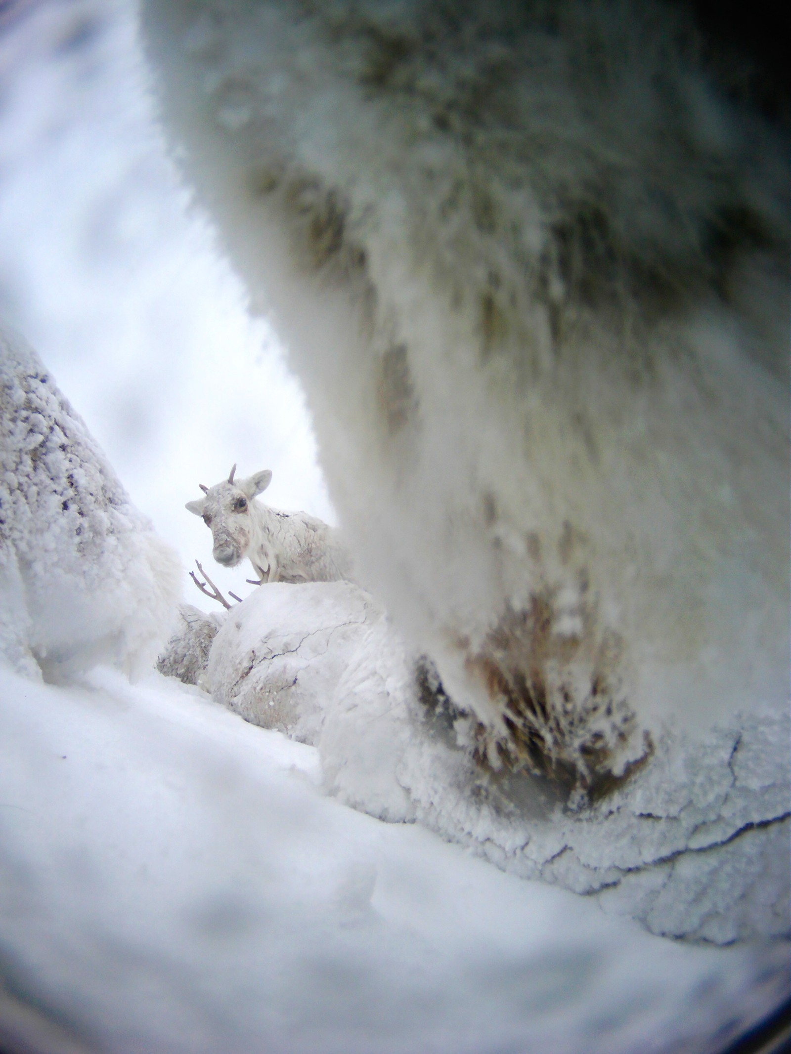 A snow clad reindeer is looking directly at the photographing reindeer.
