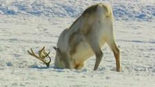 Reinsdyr med hodet ned i snøen - Foto: NRK