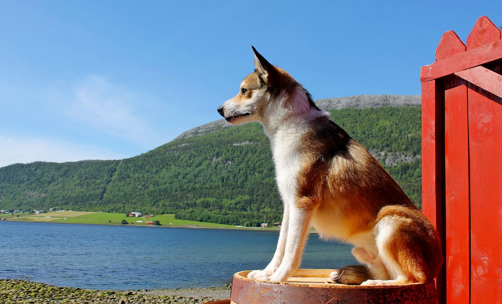 Den norske lundehunden Max i Rissa