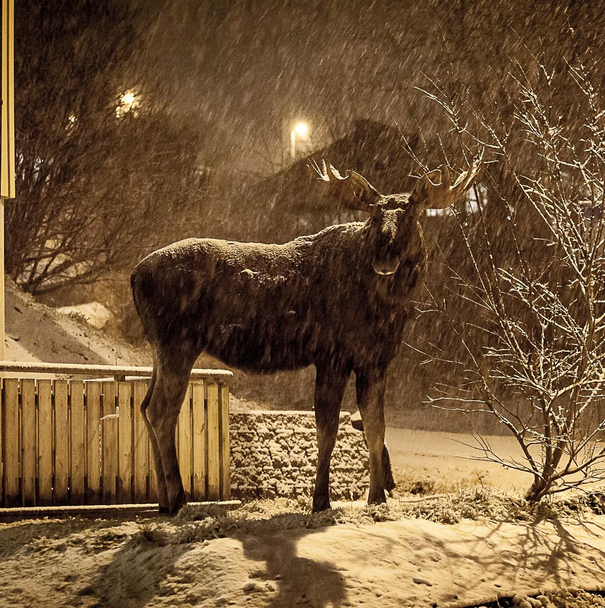 Dette må du gjøre når elgen angriper – NRK