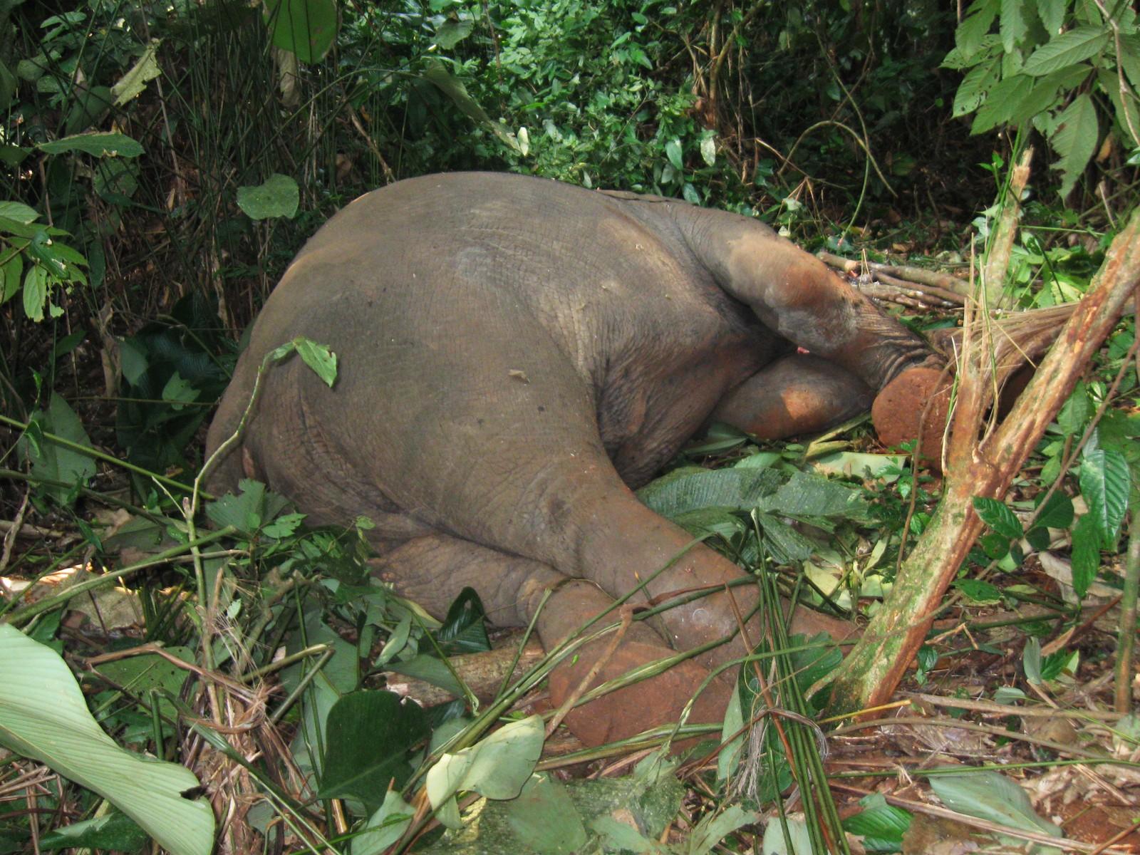 Dette er et av fire elefantkadaver som funnet i Kongo som ledd i UNEPs aksjon.
