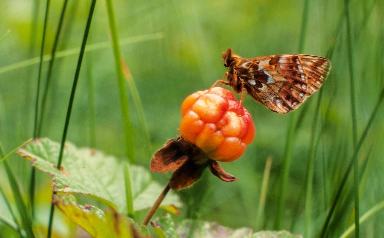 Perlemorsommerfugl på molte