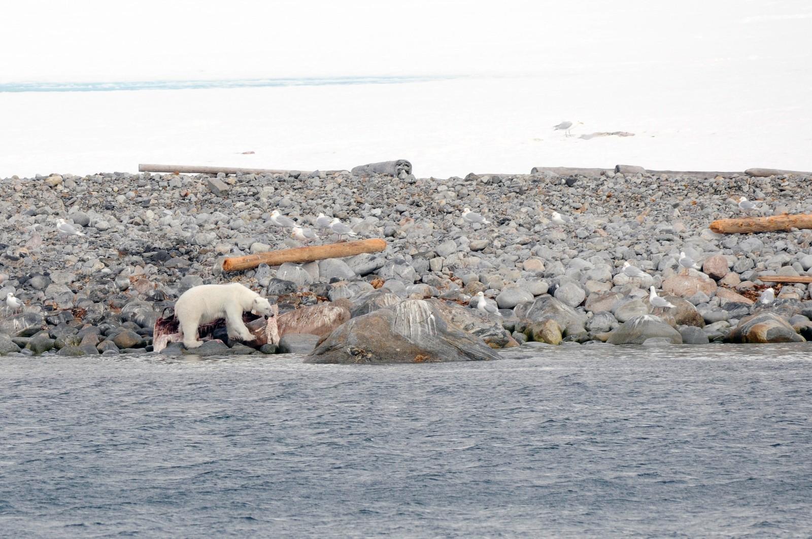 Isbjørn på Svalbard.