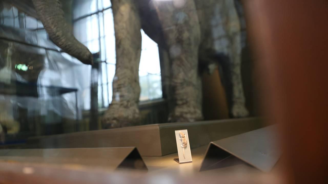 Verdas minste og største landpattedyr: Pygméspissmus og afrikansk elefant, Universitetsmuseet Bergen