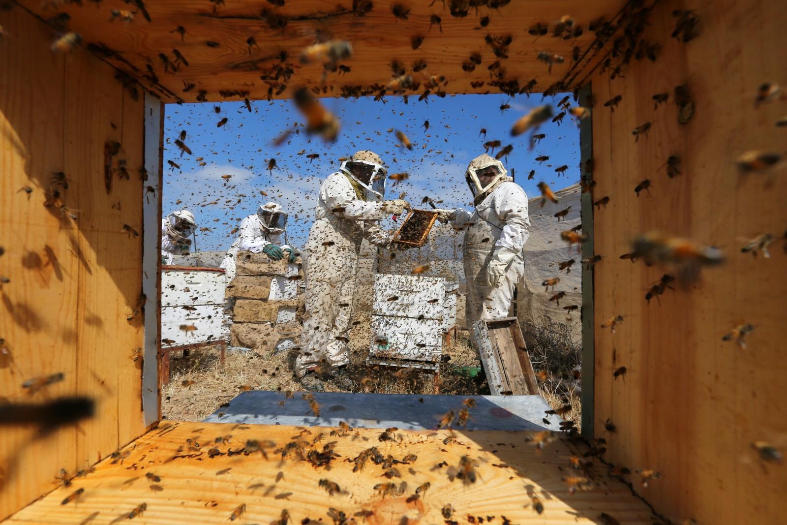 Palestinske birøktere samler honning i Rafah.