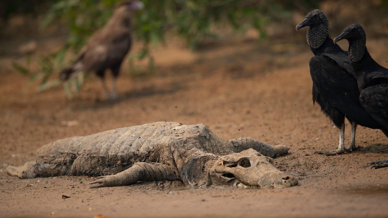 Alligator og gribber.