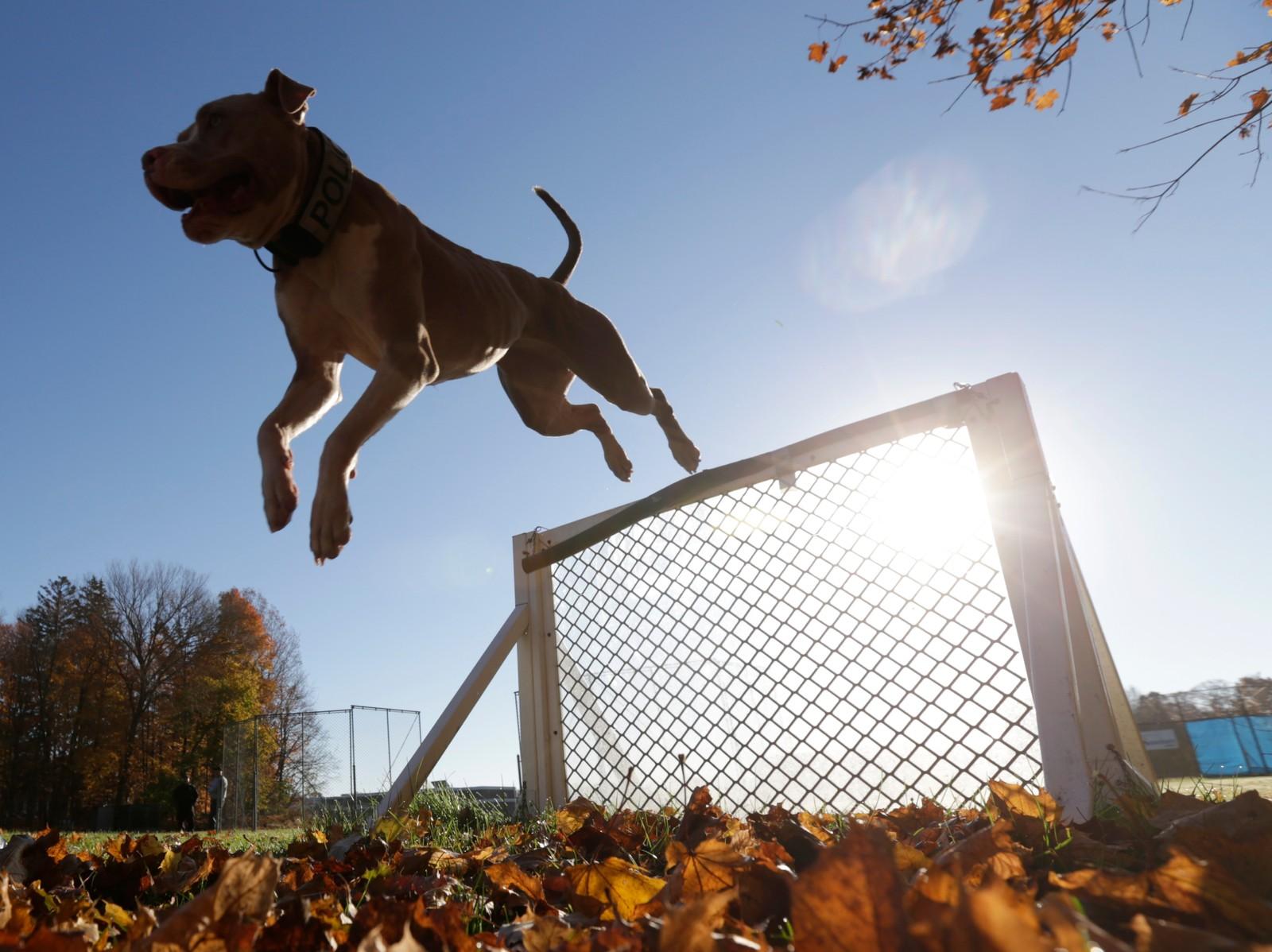 Hunden Kiah passerer et hinder under trening ved en skole i Stone Ridge, New York. Kiah (2,5) blir snart en del av politiet i Poughkeepsie der hun skal bekjempe kriminalitet og lukte seg frem til ulovlige substanser. Mange håper nå at man ved å gjøre en Pit Bull til politihund kan motarbeide fordommene om at rasen er farlig og kun elsket av kriminelle.