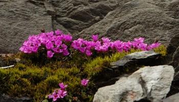 Rødsildra blomstrer ved Jämtlandsvegen