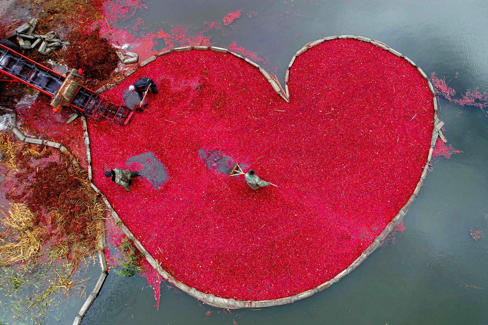 Kjærlighet til råvarene. Innhøsting av tranebær i Selishche i Hviterussland.
