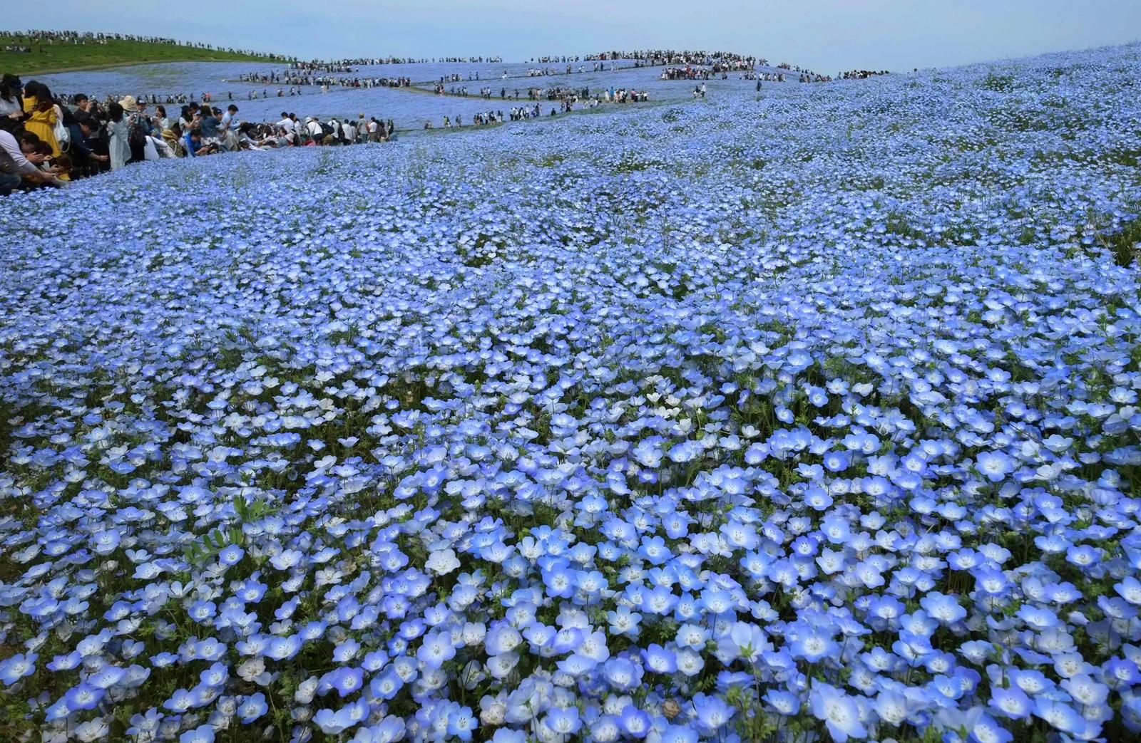 Mennesker flokker til for å oppleve blomstringen av øyeblomster i en park i Hitachinakai Japan.. Det er omtrent 4,5 millioner slike blomster i parken.