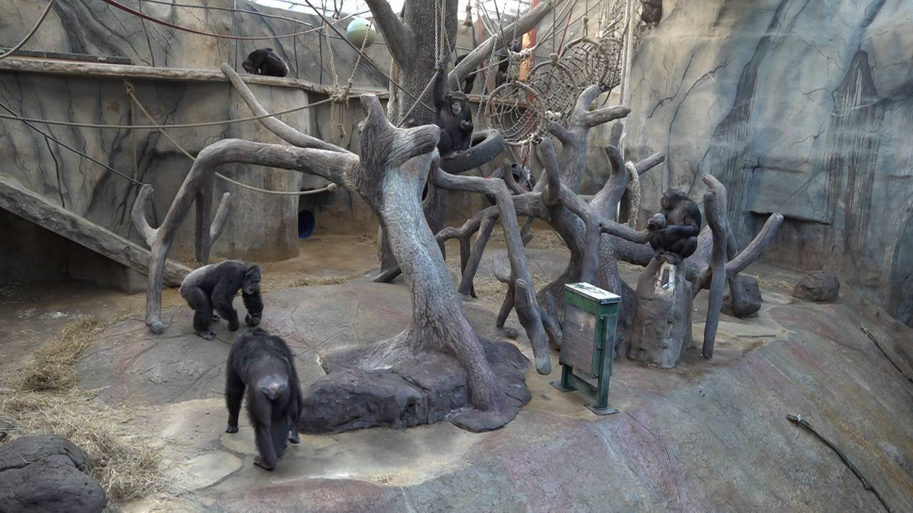 Apeflokken i jungelen