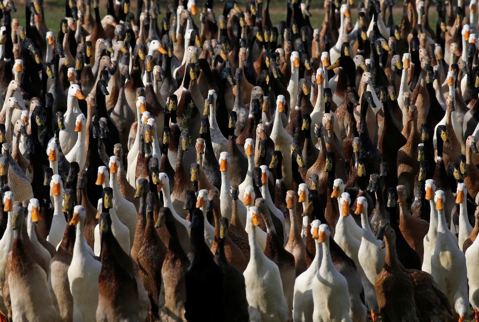 ENDENE MØTES: De såkalte Indian Runner Ducks blir hvert år sendt ut av Sør-Afrikanske vinprodusenter som bruker dem til å beskytte årets avling mot pest. Rundt 1000 ender sendes ut med snegler i blikket.