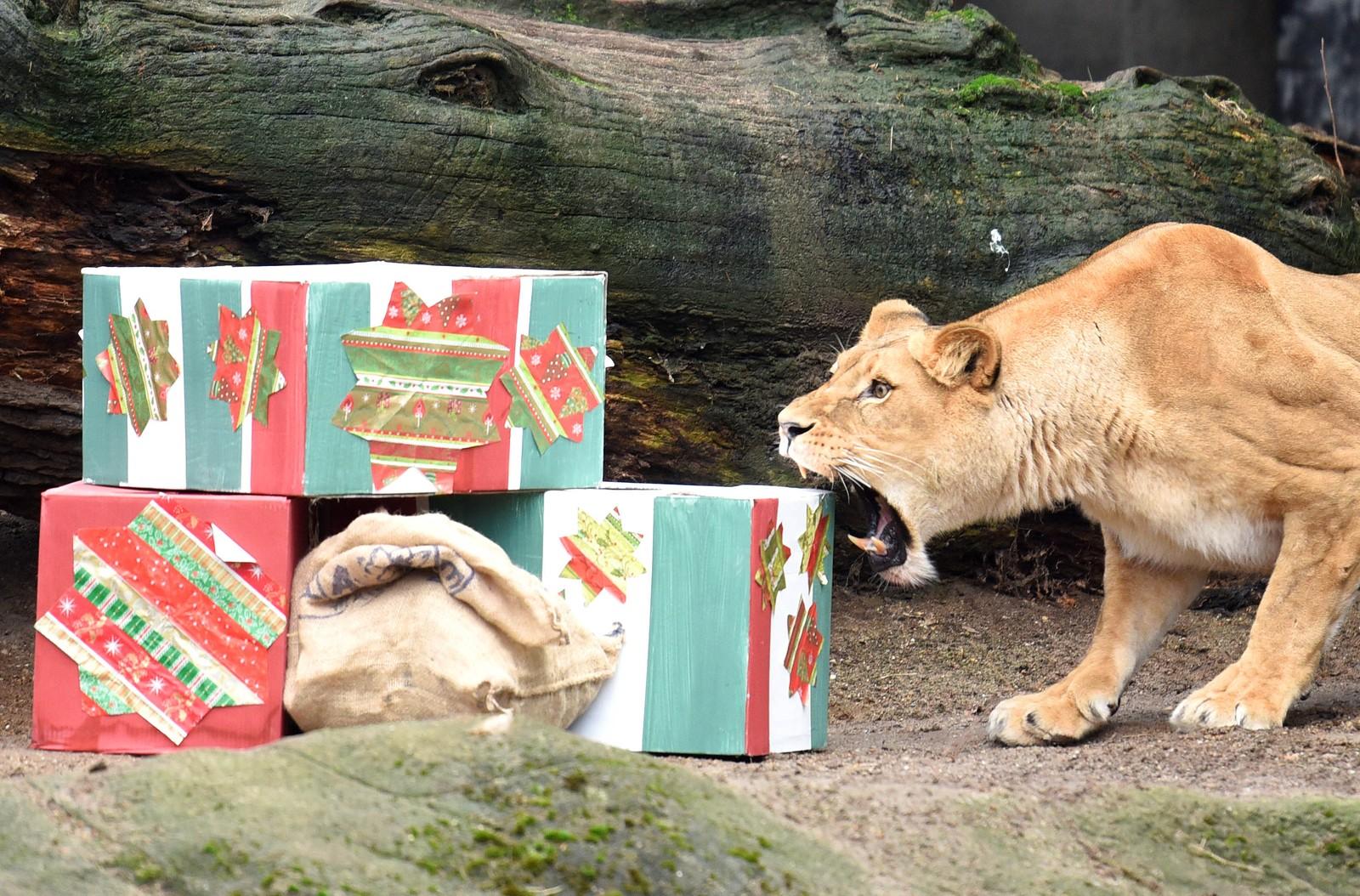 En utålmodig løvinne åpner julegavene allerede lille julaften. Bildet er tatt i dyreparken Hagenbeck i Hamburg i Tyskland.