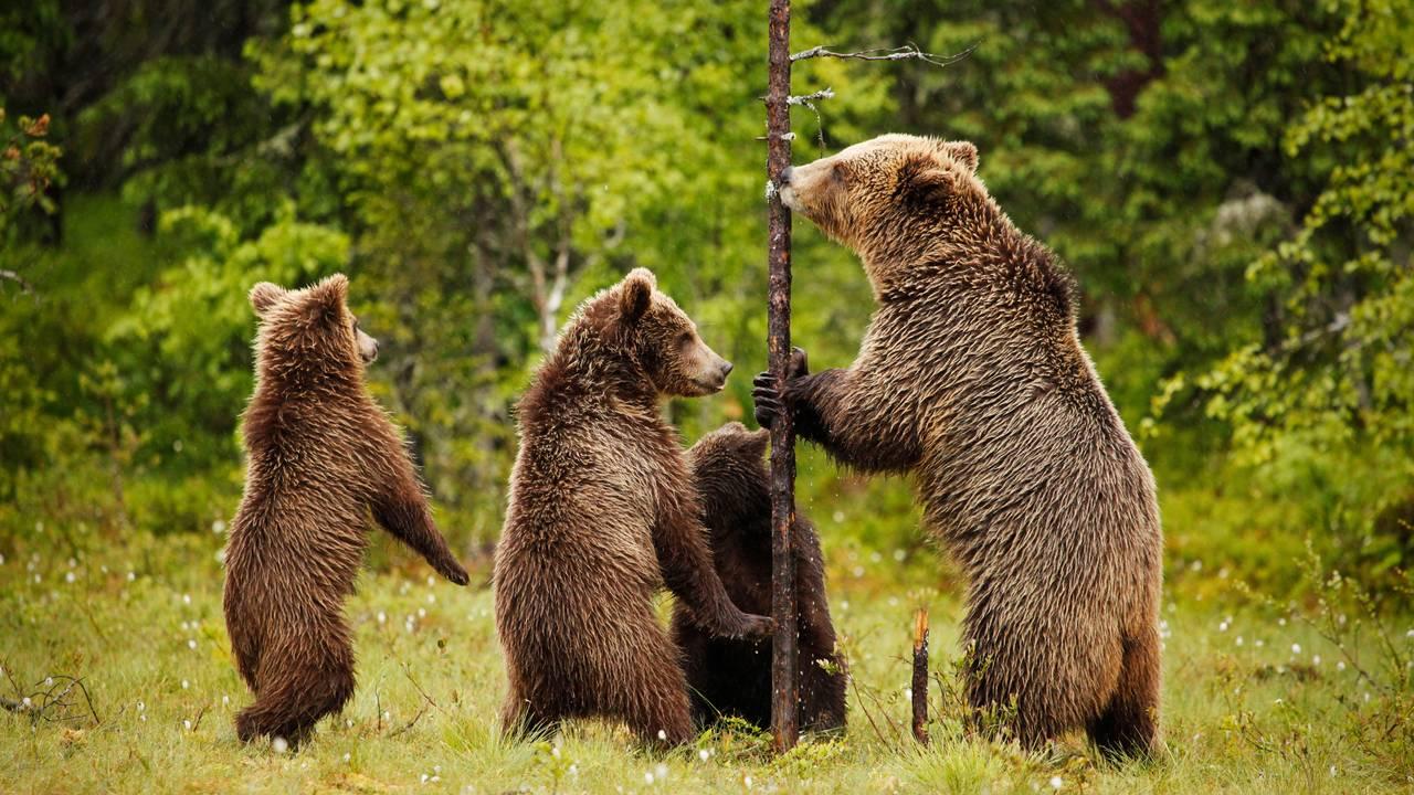En bjørnefamilie med en mor og tre unger lener seg oppover et furutre