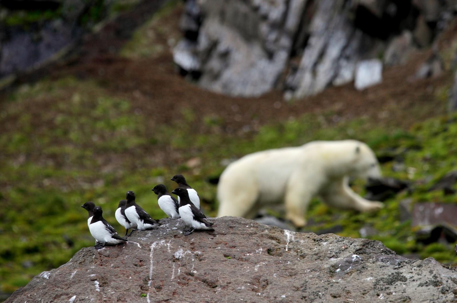 SOMMER: Om sommeren trekker isen seg tilbake og noen bjørner velger å vente på øyene til isen kommer tilbake. Verdens isbjørneksperter frykter at dårligere isforhold vil føre til nedgang i isbjørnbestanden. Amerikanske forskere har antatt at verdens isbjørnbestand kan bli redusert til en tredel av dagens antall rundt år 2050 (kilde: http://www.npolar.no/no/arter/isbjorn.html).