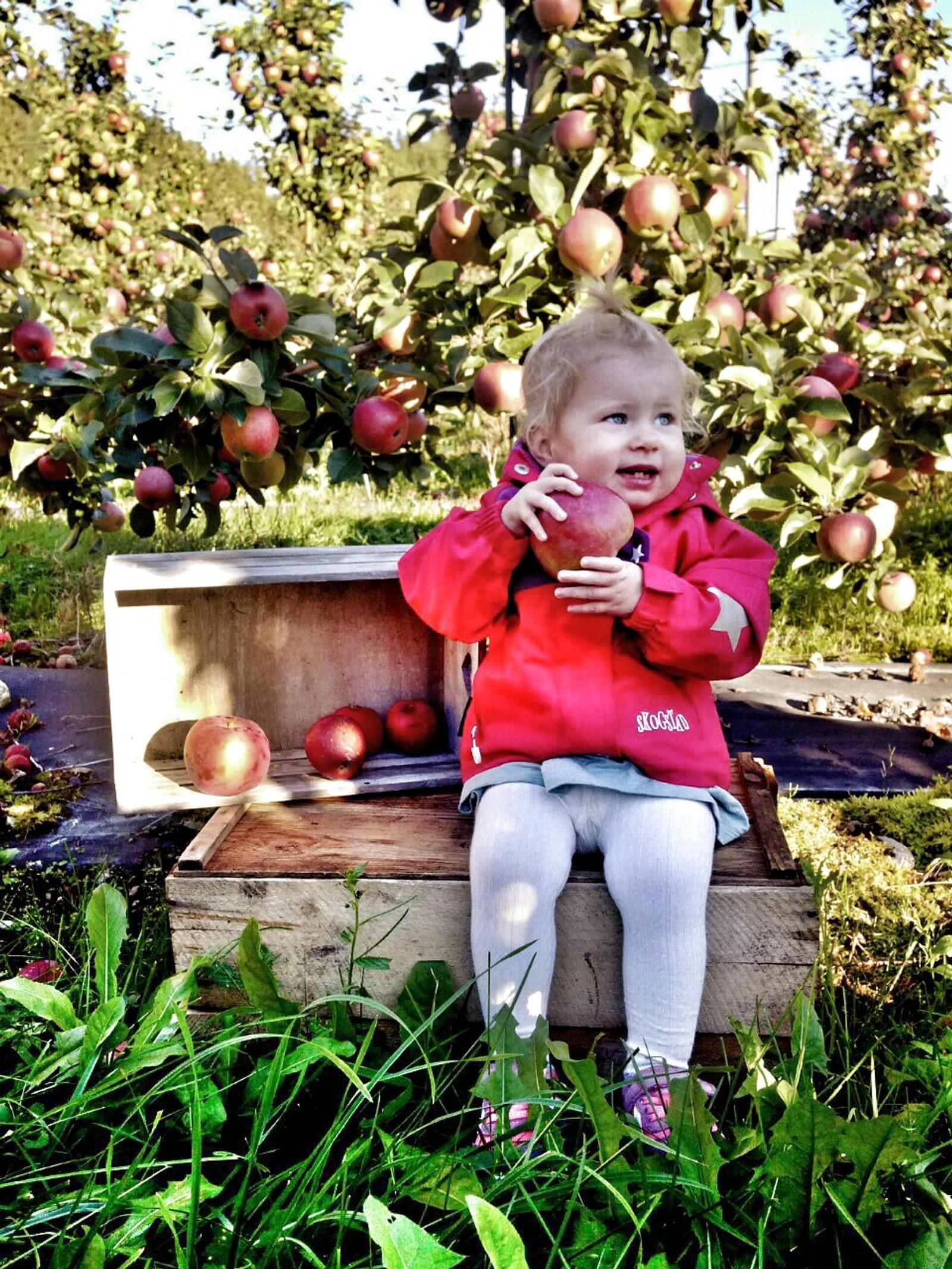 Tirils første epleslang hos naboen på Rake i Nordfjord.
