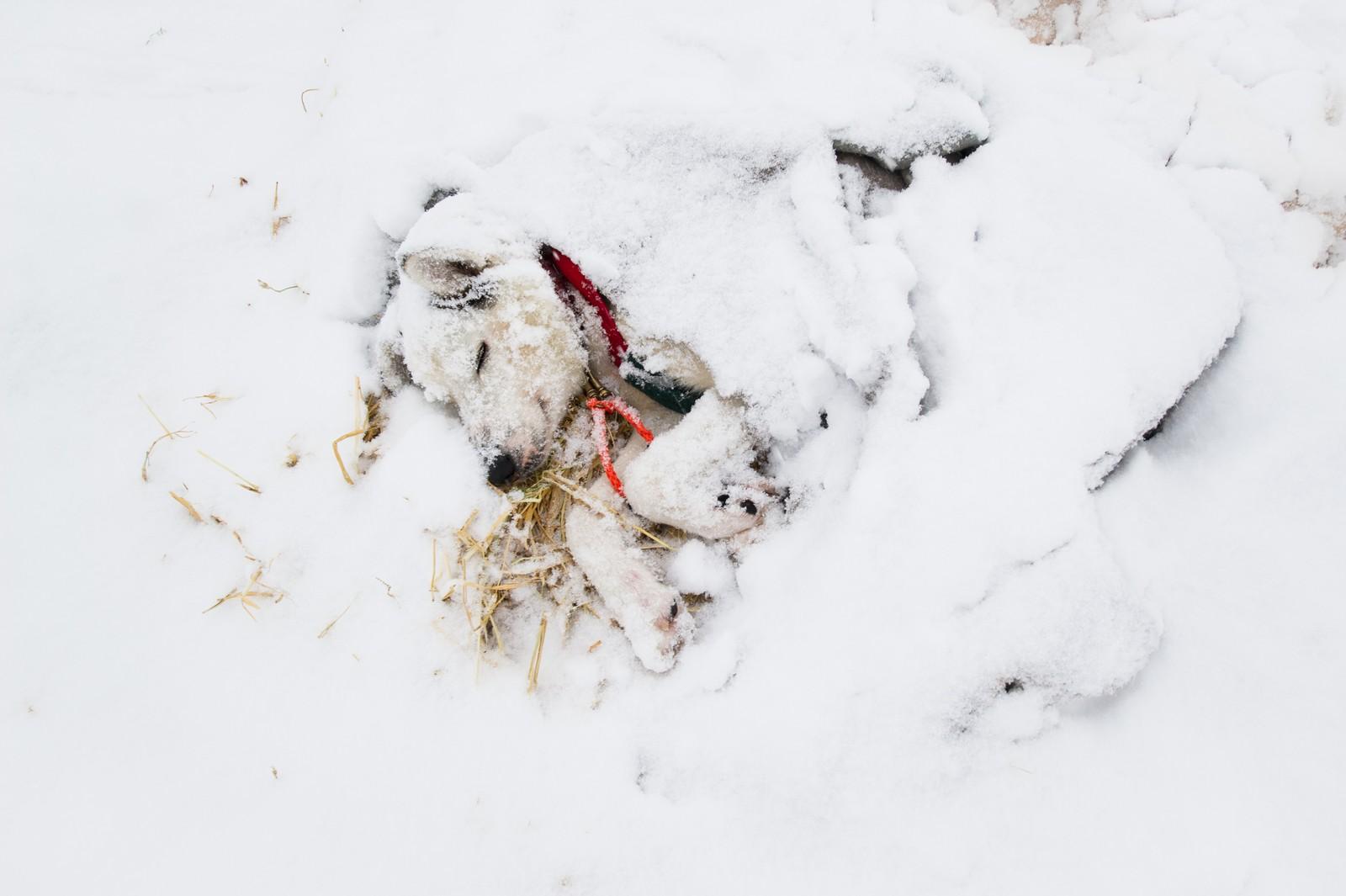 En av hundene til Inger Marie Haaland hviler fredfullt på sjekkpunktet i Neiden.