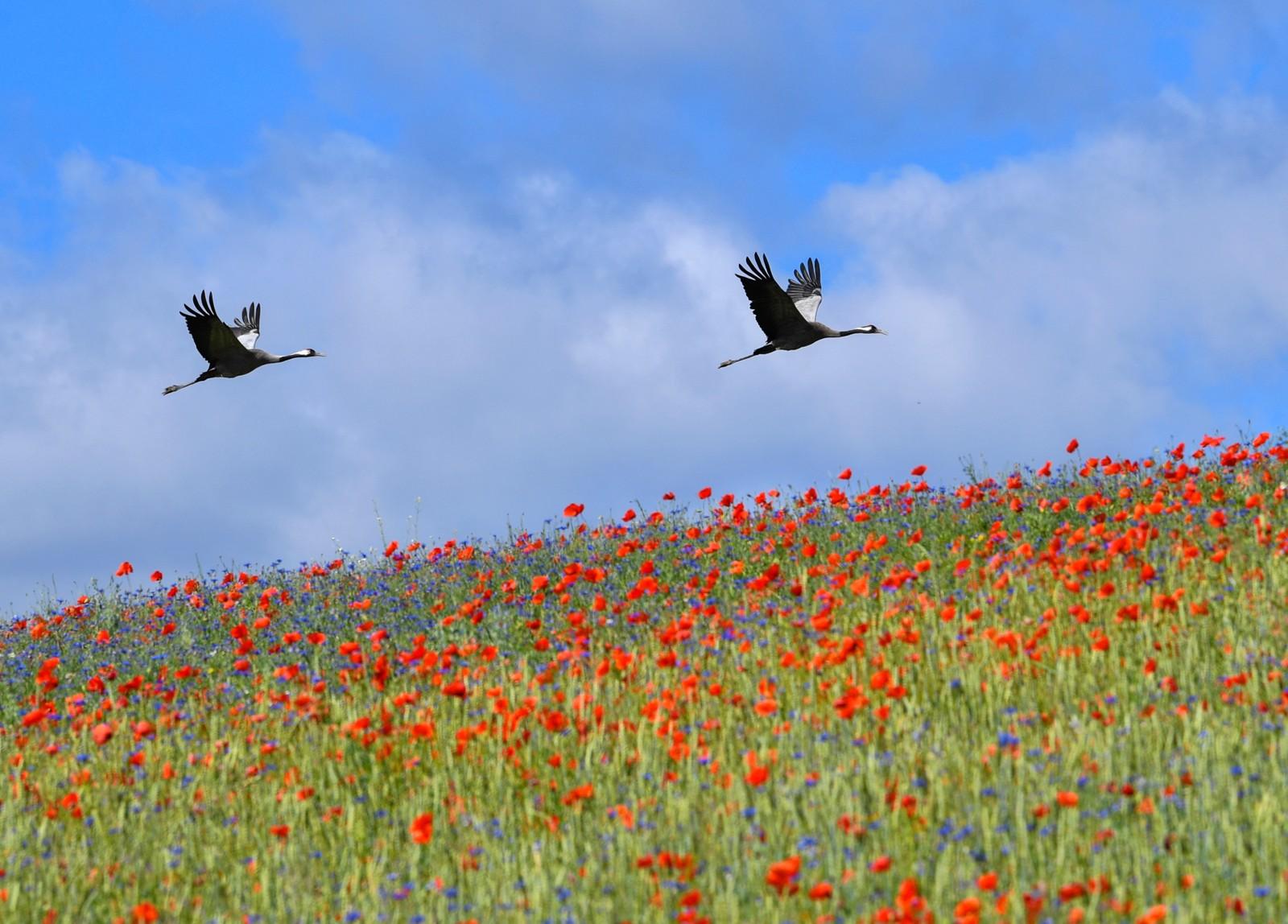 Traner flyr over en blomstereng i den økologiske landsbyen Brodowin i Tyskland.