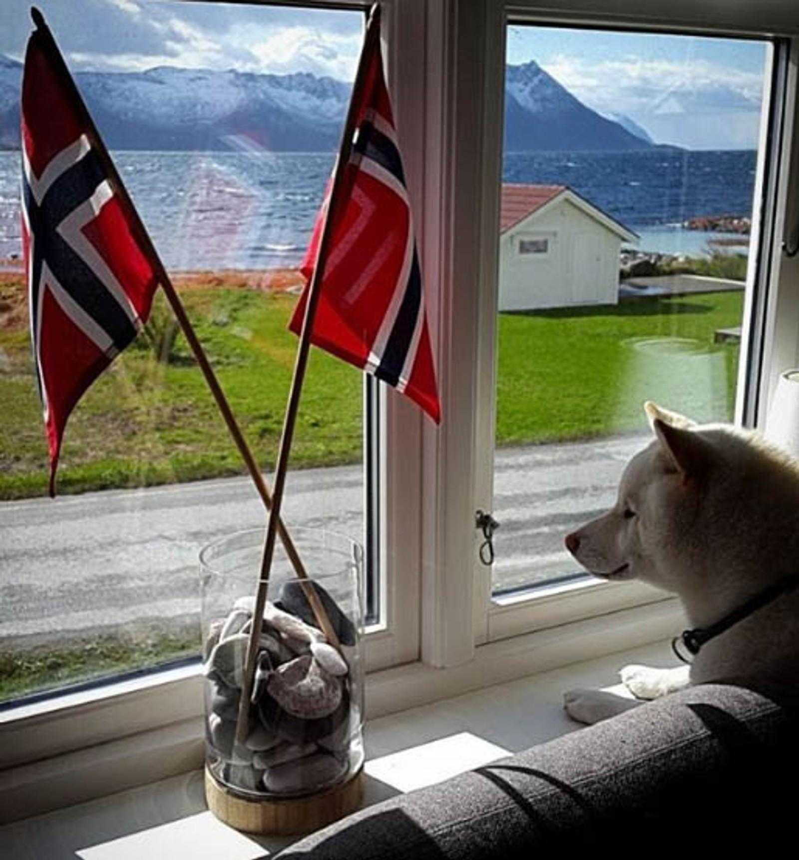 Shiba-hunden Potter feirer 17. mai på Grunnfarnes Yttergården i Torsken kommune. Det er Merete Bakkeby som har lagt ut bildet på Instagram.