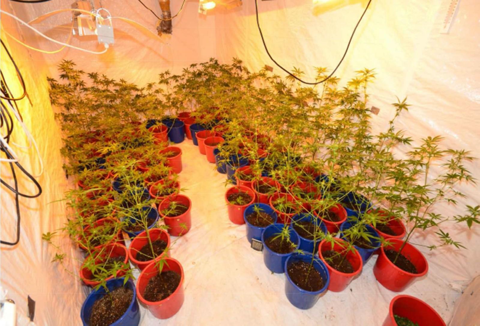 Hasjplanter i bolig