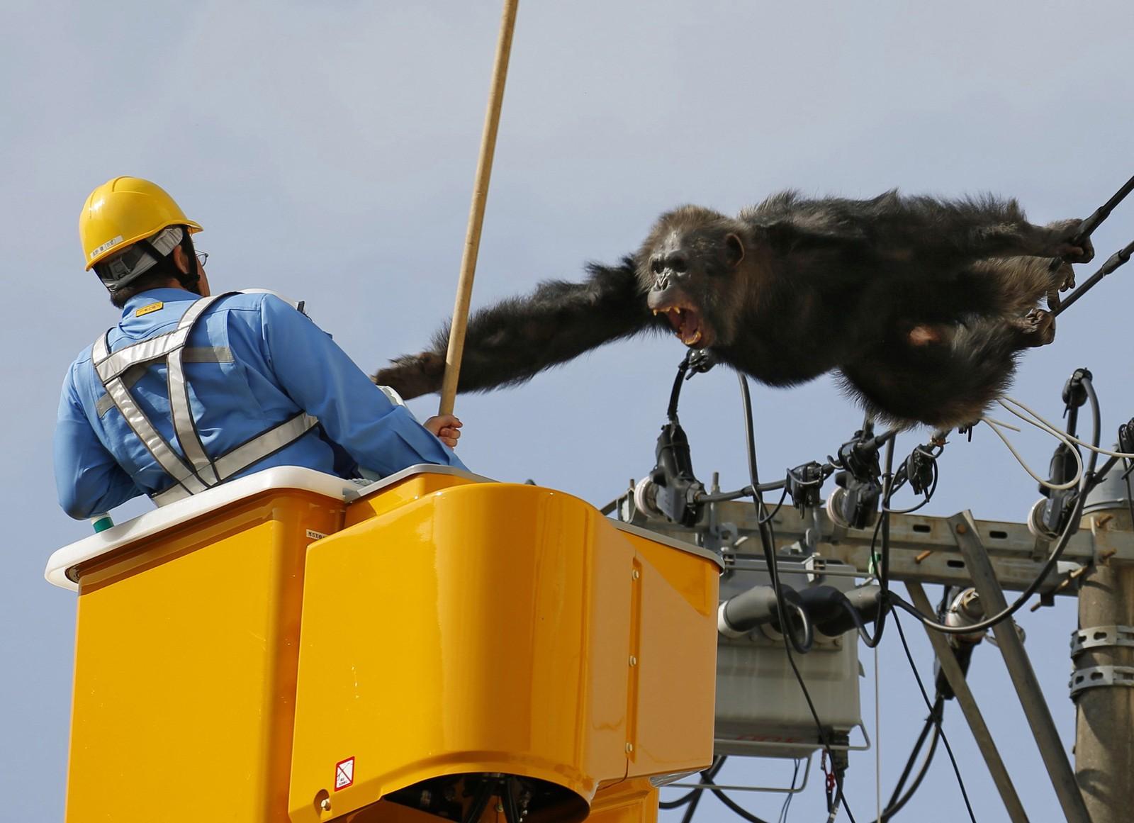 GÅ VEKK! Sjimpansen Cha Cha rømte fra Yagiyama dyrehage i Sendai i Japan torsdag denne uka. Han klatret opp i strømledningene i et forsøk på å komme seg unna forfølgerne, men måtte til slutt gi slipp etter at han ble truffet av en bedøvelsespil.