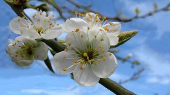 Plommetre i blomstring
