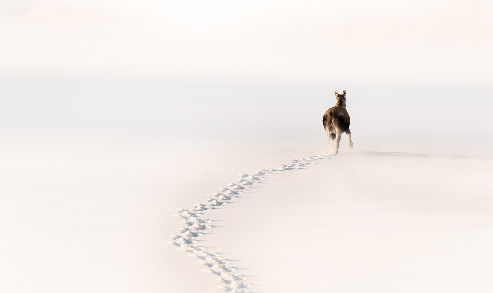 Februar: Elg på Foldsjøen