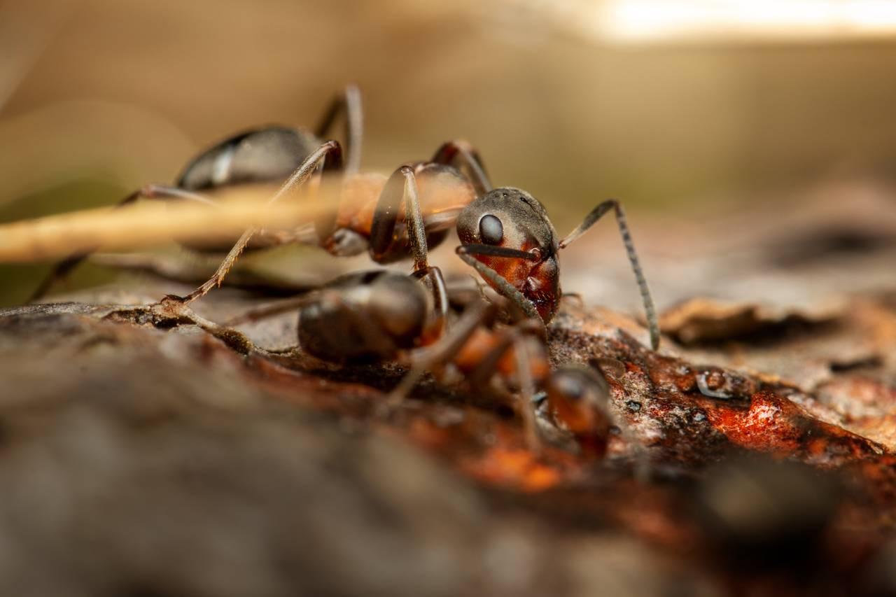 To maur drikker sukkervann. Bildet er så nære at du ser knapt maurtuen. Alt rundt den lille mauren er stort. Selv barnåla som er i ufokus foran mauren ser ut som en trestamme.