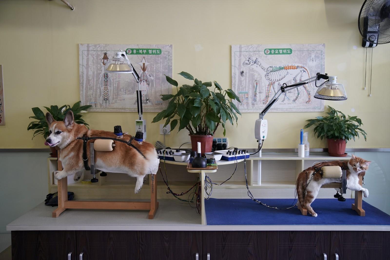 Hørt den om hunden og katten som skulle få akupunktur? I Shanghai er ikke dette introen til en dårlig vits, men et tilbud man får kjøpt på et dyresenter.