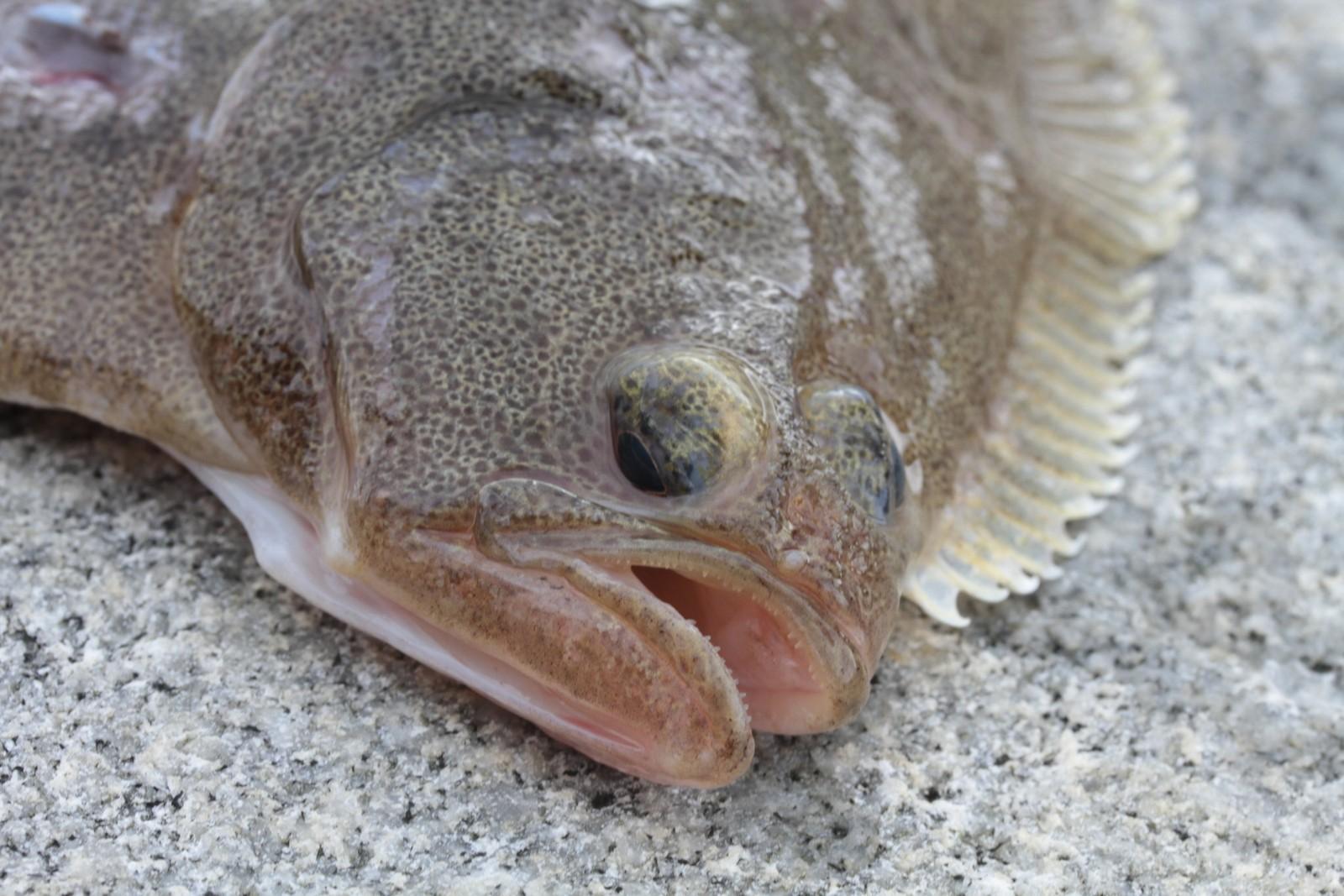 Gapeflyndre (Hippoglossoides platessoides) er en fisk i flyndrefamilien, og en art med potensial for fremtidig overføring via Nordøst- og Nordvestpassasjen, ifølge forskningsprosjektet.