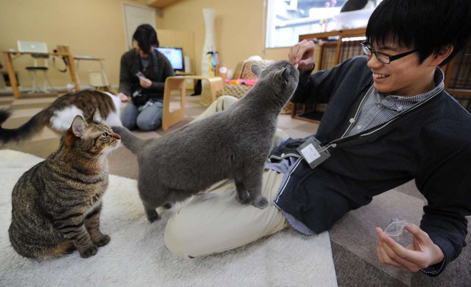 Noen kattekafeer i Japan har spesialisert seg på noen katteraser.