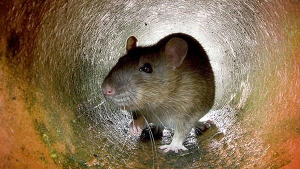 – Rotta er et lite superdyr