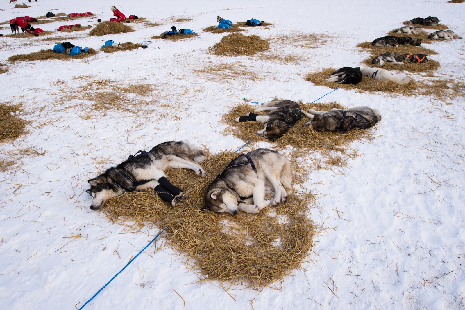 Alaska malamute-spannet hviler i Tana.