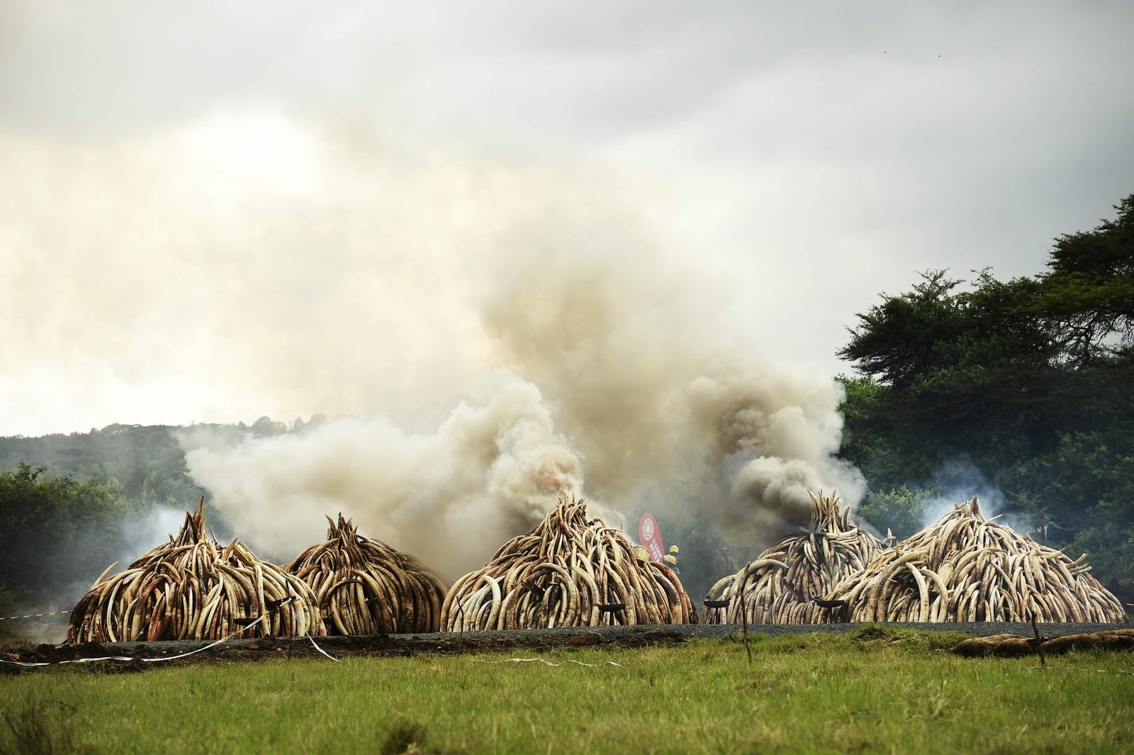 105 tonn med elfenben beslaglagt fra krypskyttere brennes i Nairobi nasjonalpark i Kenyar 30. april i år.