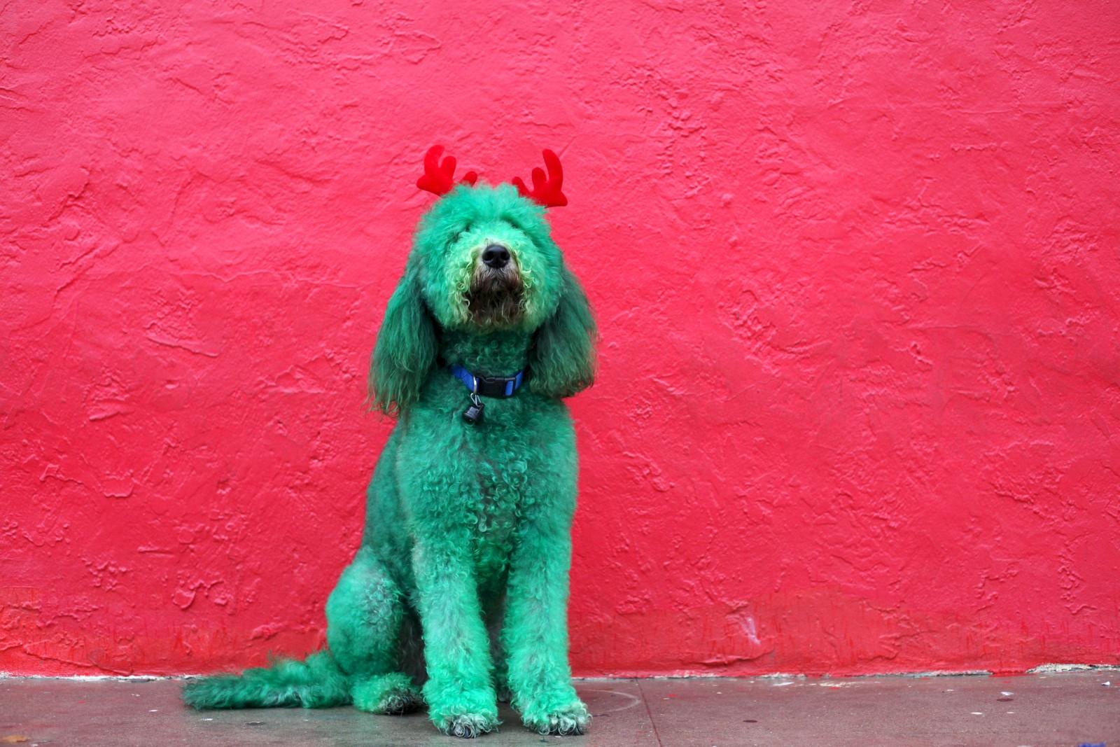 Denne hunden har farget pelsen grønn i anledning Thanksgiving-paraden i El Paso, Texas.