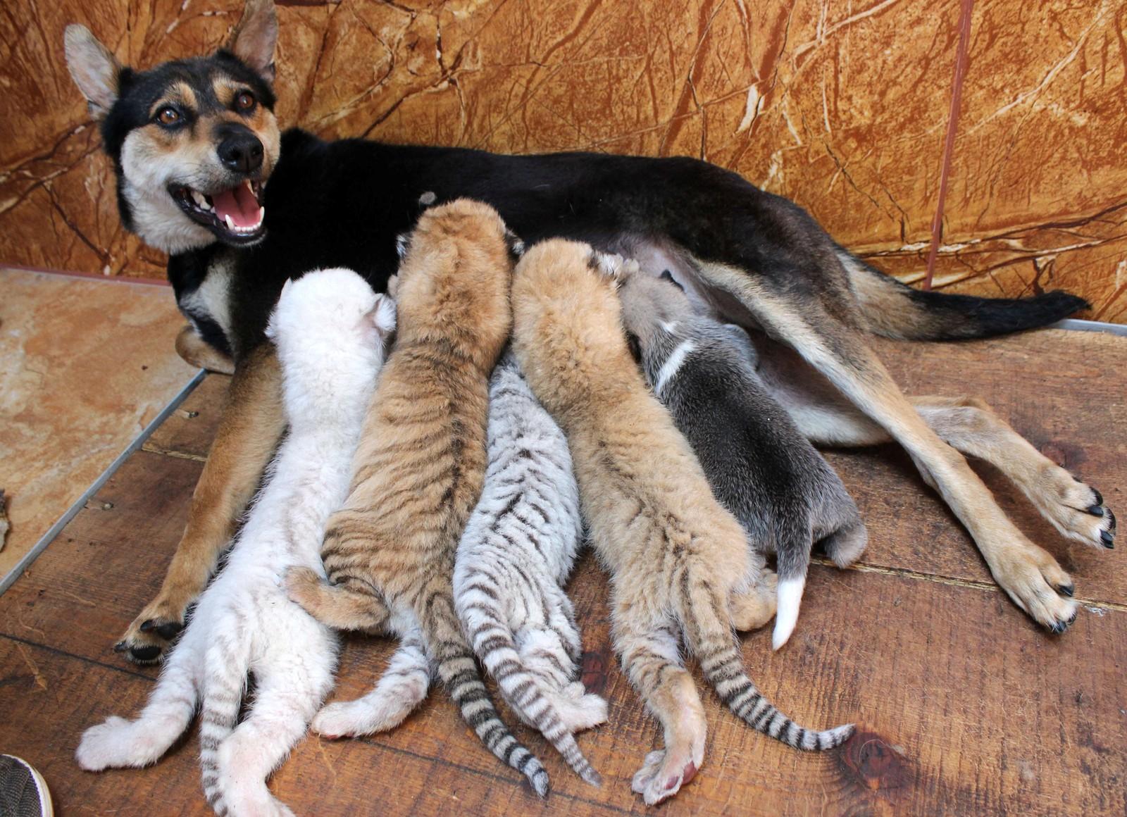En hund som ammer tigerunger der, altså. De nyfødte krabatene får i seg litt melk i Roncheng, Kina.